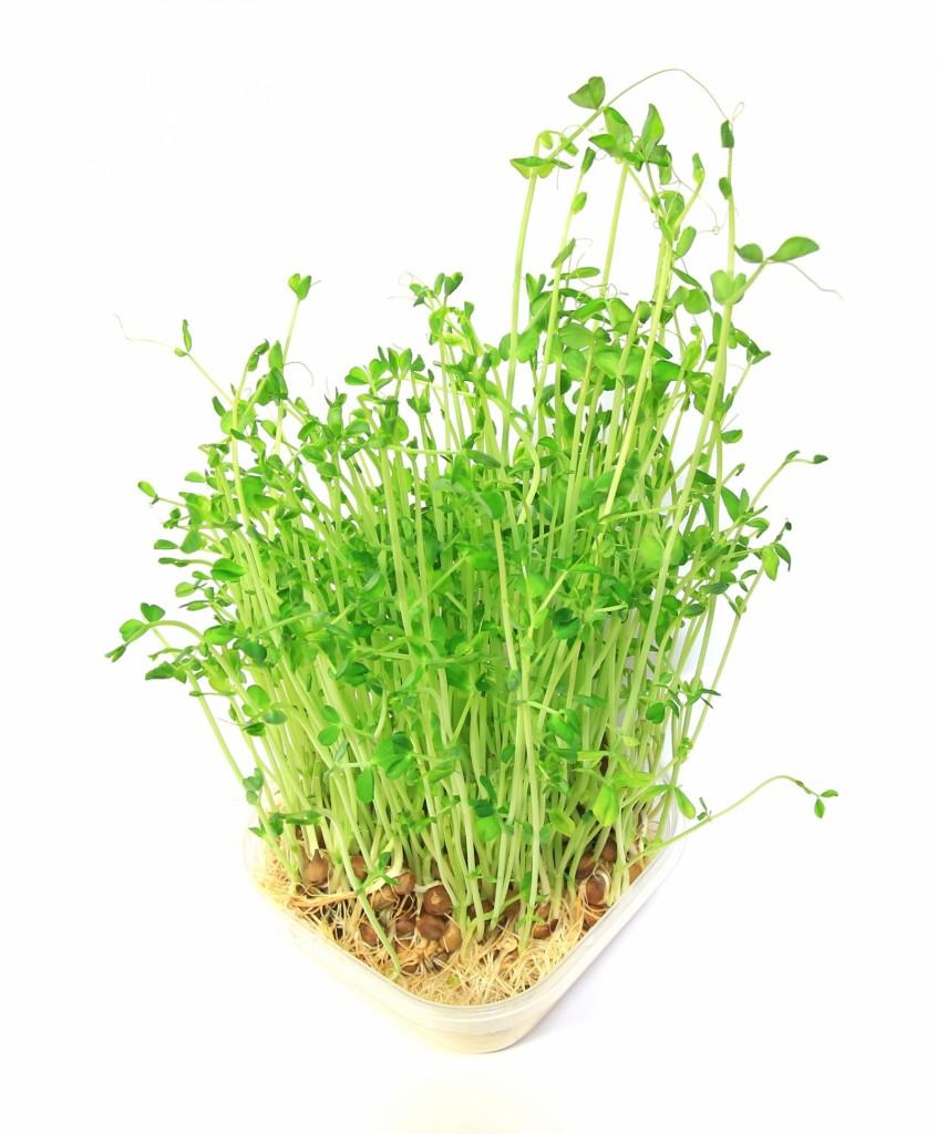 豆苗の栄養価は、ほうれん草越え!育てて再収穫の楽しみも有 ...