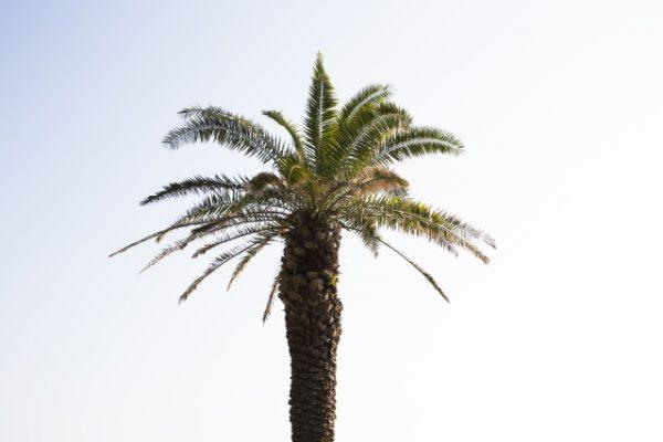 フェニックスの樹